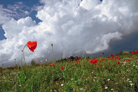poppy field on dramiatic sky Standard-Bild