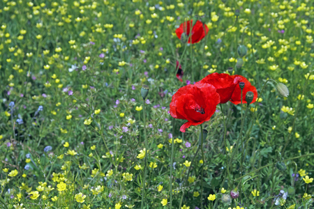 Red Poppy on green meadow covered with small, yellow flowers Standard-Bild