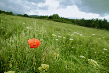 single poppy in field, dramiatic sky Standard-Bild