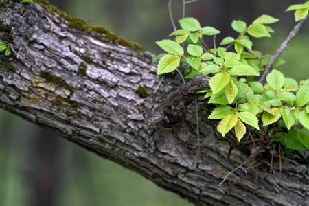 young leaves on old branch