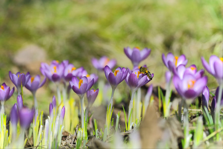 Crocus flowers and bee - shallow depth of field