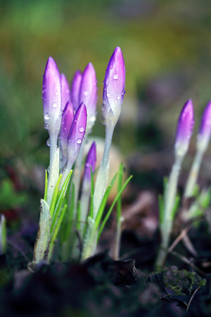 Crocus with water drops - shallow depth of field