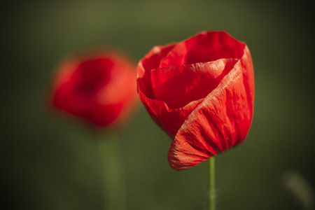 macro of poppy on green background