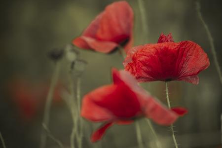 macro of poppy on pale background
