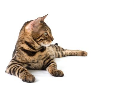 Gato de Bengala que miente y mira hacia otro lado sobre un fondo blanco