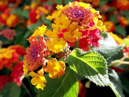 Lantana is a genus of flowering plants of the Verbenaceae family Reklamní fotografie