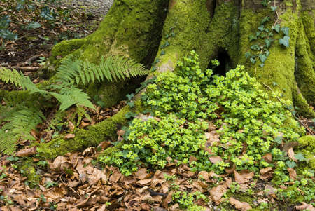 Patch of Euphorbia Amygdaloides (Wood Spurge) growing at the base of a mossy tree trunk photo