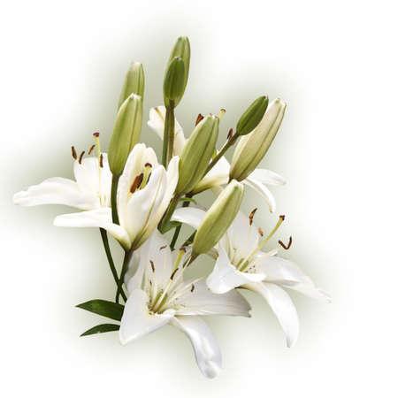 Spray of white lilies on a white background photo