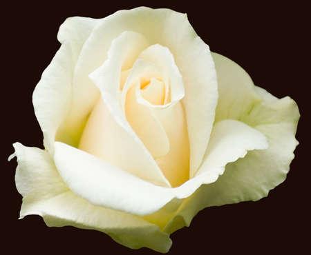 Creamy white Hybrid Tea rose, variety Pascali photo