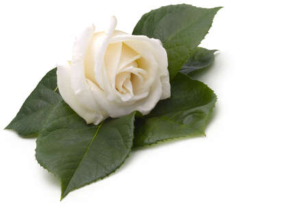 roseleaf: Beautiful creamy white rose on a bed of rose leaves, on a white background