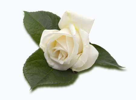 roseleaf: Beautiful creamy white rose on a spray of rose leaves, isolated on a white background