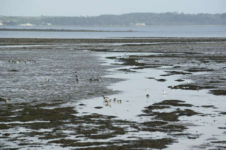 brent: Flock of Brent or Barnacle geese (Branta bernicla) in their winter feeding grounds on the shore of Strangford Lough, County Down, Northern Ireland Stock Photo