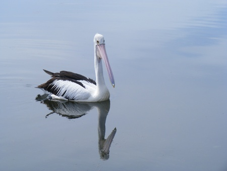 Pelican with its image on the water