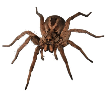 poisonous insect: A wolf spider head on. Stock Photo