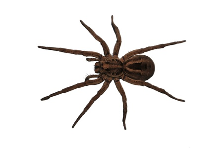 poisonous insect: Wolf Spider over head view