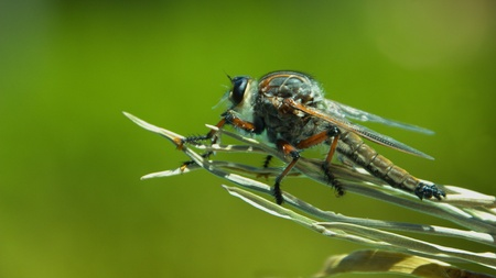 Robber Fly � ready for take off