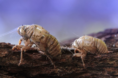 Two old cicada shells playing follow the leader