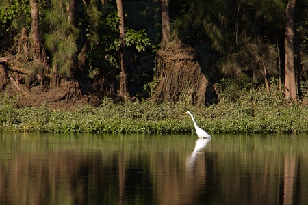 A white heron hunting in a shallow river