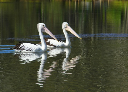 duality: Two pelicans swimming side by side  Stock Photo