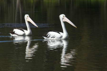 Two Pelicans - Follow the Leader photo