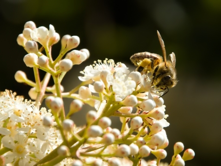Bee Foraging Stock Photo