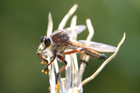 Cute Robber Fly
