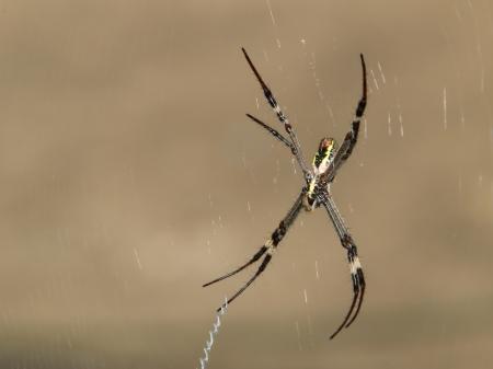 weaver: Orb Weaver Spider