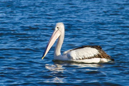 A pelican swimming on blue water