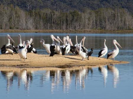 sandbar: Pelicans on a sandbar