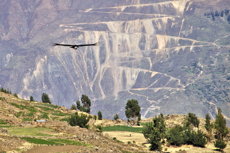 A condor flying over the Andes Mountains at the Colca Canyon in Peru