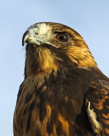 Falcon Side View
