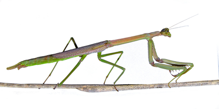 creepy crawly: Praying Mantis