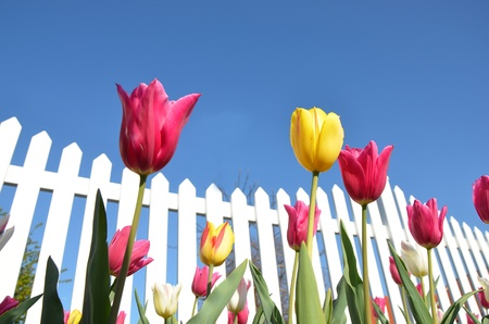 Tulips and a white fence photo
