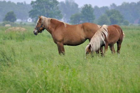 Belgian Mares in a grassy pasture