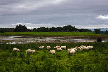 A flock of sheep in the countryside with a stormy sky, Loch Laich, Scotland, United Kingdom Archivio Fotografico