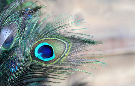 Peacock Feather blue and green photo