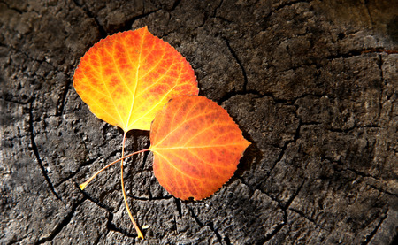 aspen leaf: Orange and Yellow Aspen leaves on a wood stump