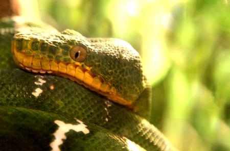 Green Snake coiled on a branch Zdjęcie Seryjne