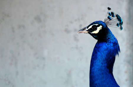 strut: Male Peacock Bird Blue Head