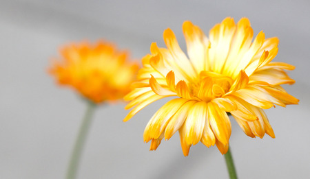 Yellow Gerber Daisy flower petal on Grey background