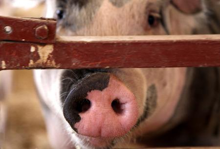 pig nose: Pink Pig Nose Snout through a Fence