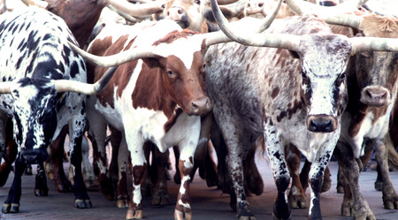 d       cor: Herd of Texas Longhorn Cows Steers Bulls Cattle Stock Photo