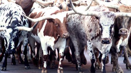 longhorn: Herd of Texas Longhorn Cows Steers Bulls Cattle Stock Photo