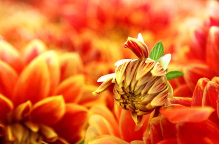 Field of Orange Flower Petals Zdjęcie Seryjne