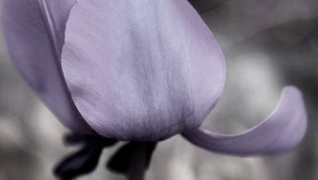 Purple violet Tulip Flower Petal