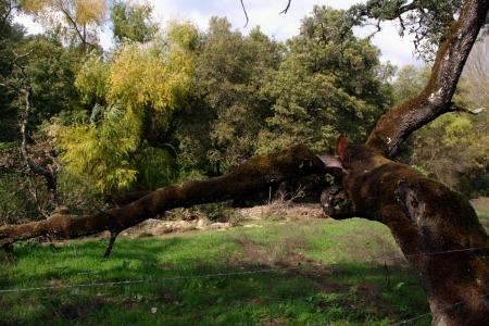 huelva: Old tree at the Mountains of Huelva