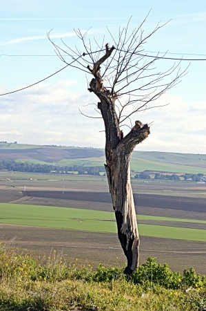 dried up: The route of Washington Irving - Dried up tree  Carmona  Seville