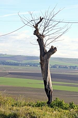 carmona: The route of Washington Irving - Dried up tree  Carmona  Seville