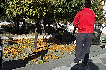 Carmona, Seville, 6th February 2013: Urban life 7: People picking oranges