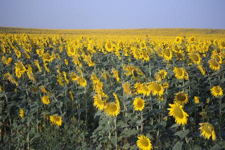 carmona: Landscapes of Carmona  Sevilla  - Sunflowers 10